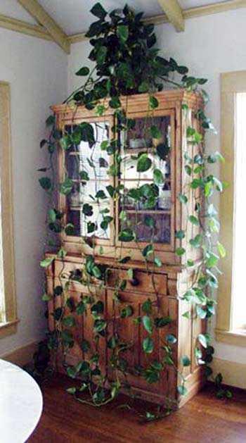 Las mejores plantas para el interior de la casa cuidado - Enredaderas de interior ...
