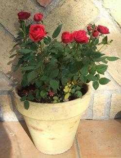 rosas2