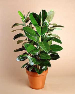 ficus - Plantas Verdes De Interior